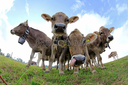 wide angle shot of cows