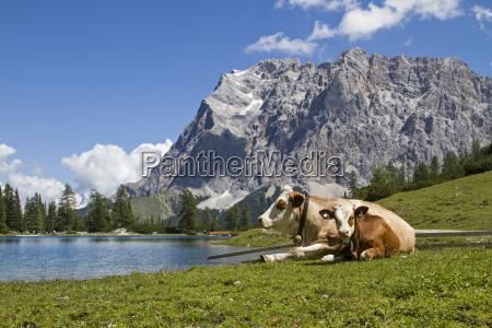 cows on seeebensee