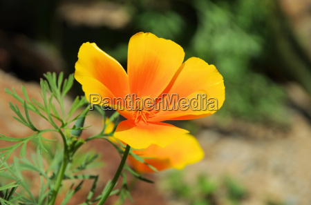 california poppy california poppy 34