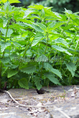 nettle plants nettle medical plants green