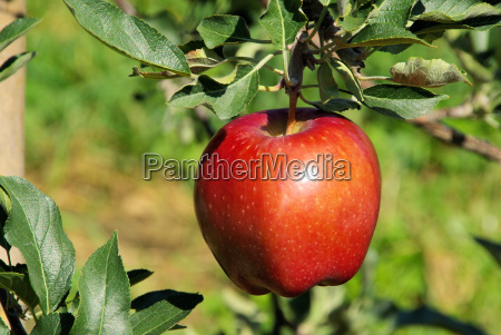 apple on tree 49