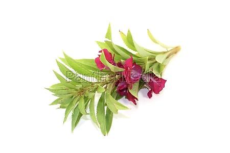 healthy purple balsam