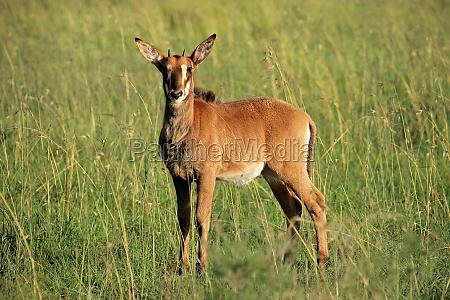 sable antelope calf