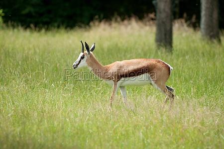 springbok walking in green grass