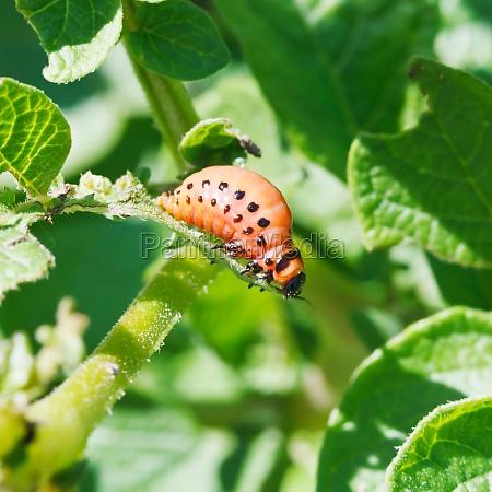 larva of colorado potato beetle eats
