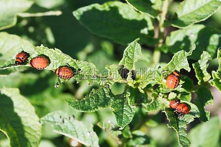 many larva of colorado potato beetle