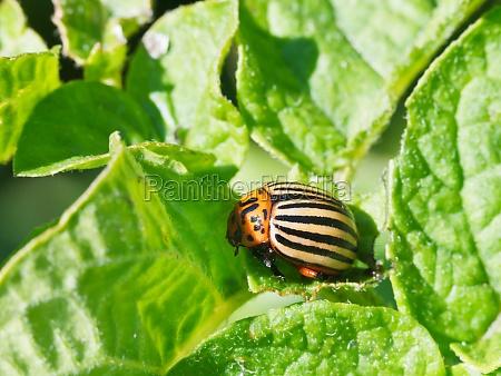 ten lined potato beetle in potatoes