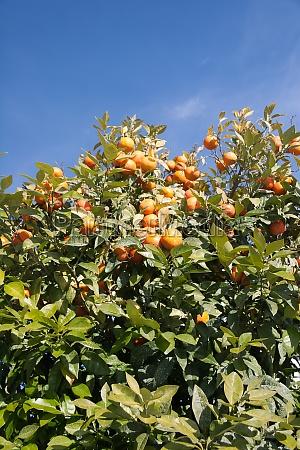 orange tree citrus sinensis