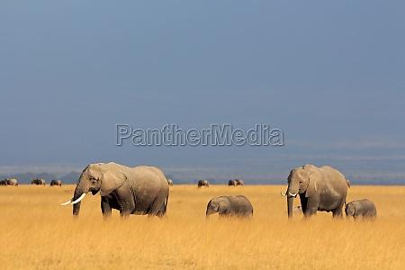african elephants in grassland