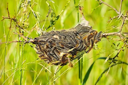 oak processionary nest allergy