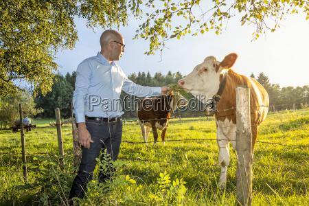 man feeds cow