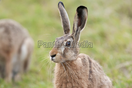 hare in the grass in the