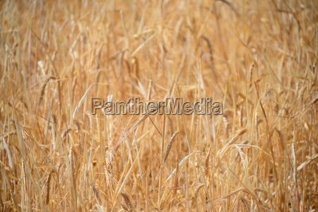 grain on the field
