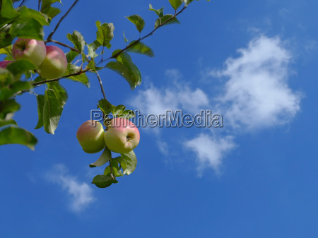 apples hanging on the tree blue