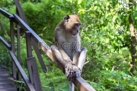 young macaque