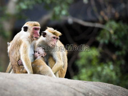 family of red faced macaque monkeys