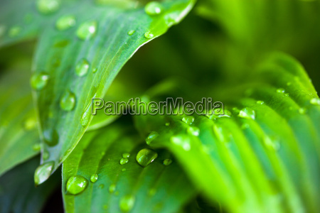 green leaves of hosta with dew