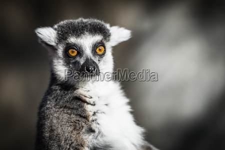 ring tailed lemurs of madagascar