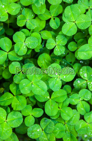 green leaves of clover with drops