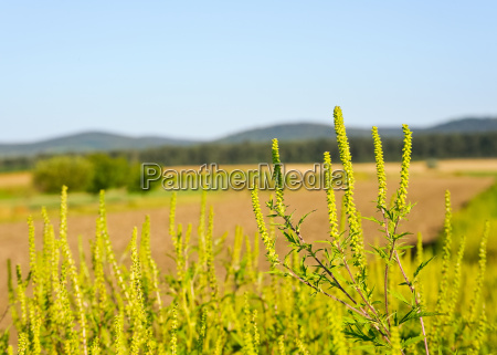 ragweed allergy on the field