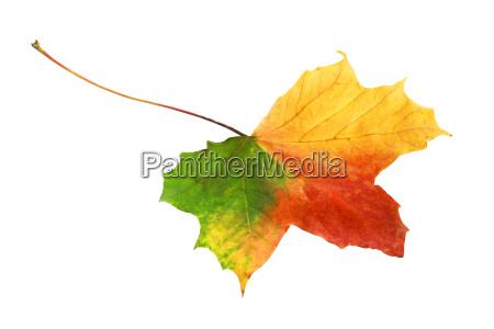 bright vibrant tricolor autumn leaf
