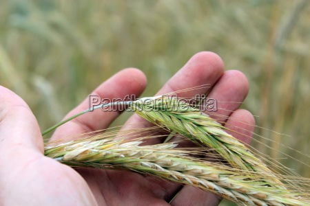 hand with ripe wheat