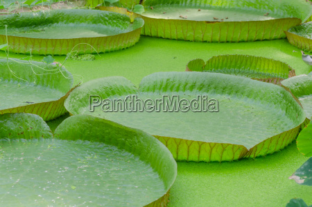 victoria amazon water lily