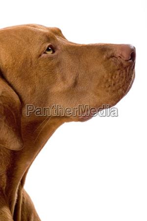 golden color dog portrait