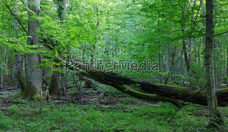 old oak tree broken lying in