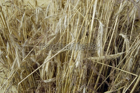 aehre wheat wheat field cereal food