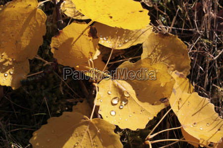 yellow poplar leaves with morning dew
