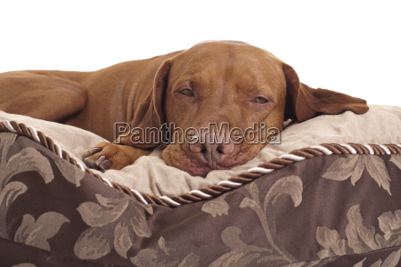 pet laying in dog bed