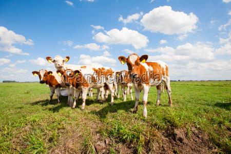 dutch calves