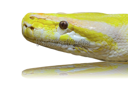 head albino python snake isolated on