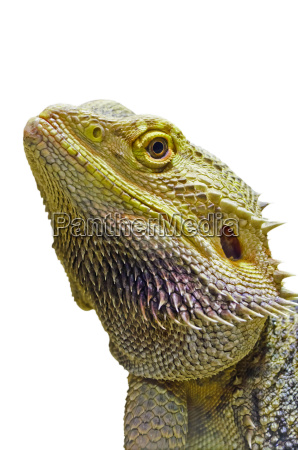 close up of bearded dragon head