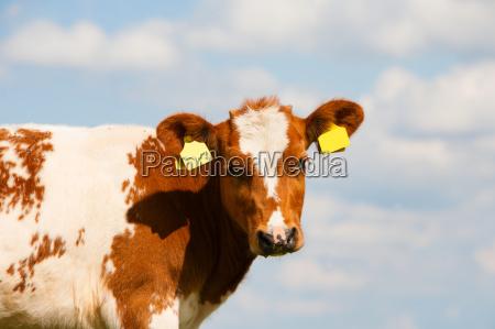 dutch calf