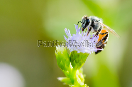 small bee eating nectar on flower