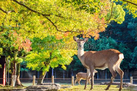 nara deer roam free in nara