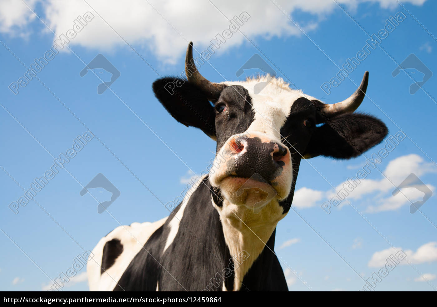 dutch, cow - 12459864
