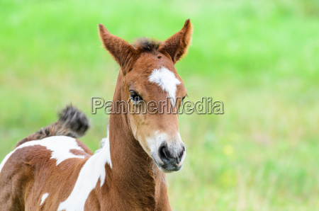 close up foal with brown and