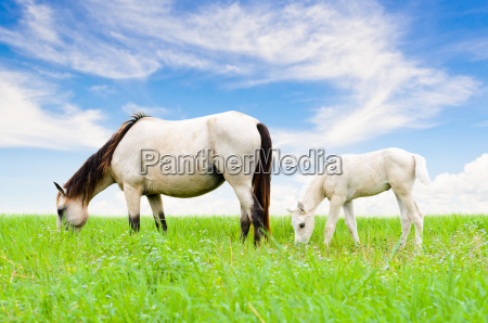 white horse mare and foal on