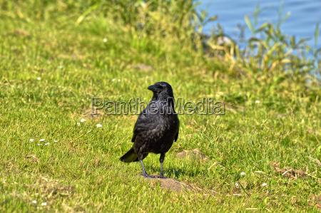 a black raven on a meadow