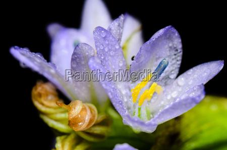 purple flowers of monochoria hastata l