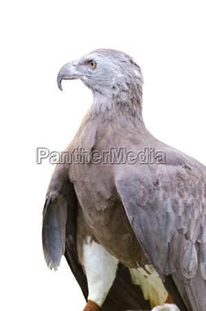 lesser fish eagle ichthyophaga humili