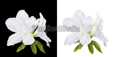 rhododendron moulmeinene hook flowers isolated on