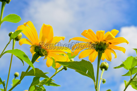 mexican sunflower weed flowers are bright