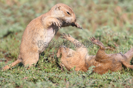 black tailed prairie dogs cynomys ludovicianus