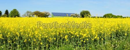 blooming rapeseed fieldrn