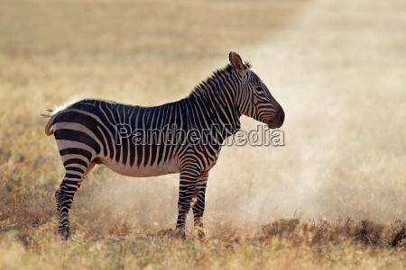mountain zebra in dust