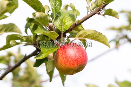 apple at tree in sunlight